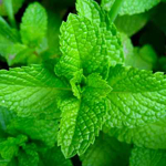 Picture of Strong Spearmint PG